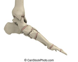 3d rendered anatomy illustration of a human skeletal foot