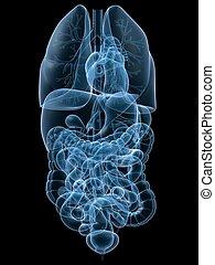 human organs - 3d rendered anatomy illustration of human...