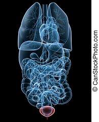 highlighted bladder - 3d rendered anatomy illustration of...