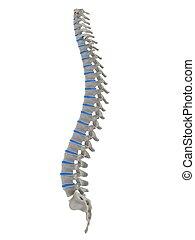 human spine - 3d rendered anatomy illustration of human ...