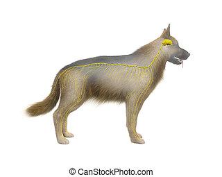the canine nervous system - 3d rendered anatomy illustration...