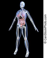 female anatomy - 3d rendered illustration of a female ...