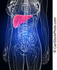 3d rendered illustration of a female anatomy with highlighted liver
