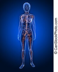 lymphatic system - 3d rendered illustration of a female ...
