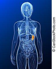 highlighted spleen - 3d rendered illustration of a female ...