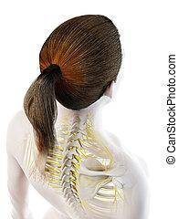 3d rendered illustration of a females nerves of the back