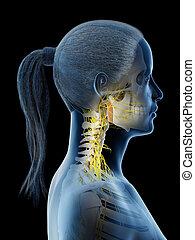 3d rendered illustration of a females nerves of the neck