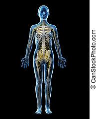 nervous system - 3d rendered illustration of a females...