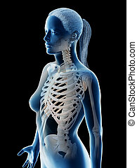 skeletal thorax - 3d rendered illustration of a females...