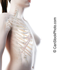a females skeletal thorax - 3d rendered illustration of a...