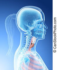 a females throat anatomy - 3d rendered illustration of a...