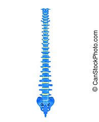 human spine - 3d rendered illustration of a healthy human ...