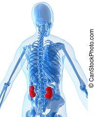 highlighted kidneys - 3d rendered illustration of a human ...