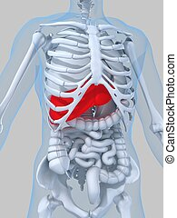 highlighted liver - 3d rendered illustration of a human...