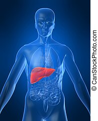 3d rendered illustration of a human anatomy with highlighted liver