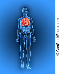 3d rendered illustration of a human anatomy with highlighted lung