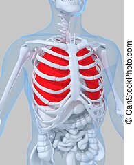 highlighted lung - 3d rendered illustration of a human ...