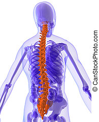 highlighted spine - 3d rendered illustration of a human ...