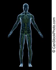 lymphatic system - 3d rendered illustration of a human body ...
