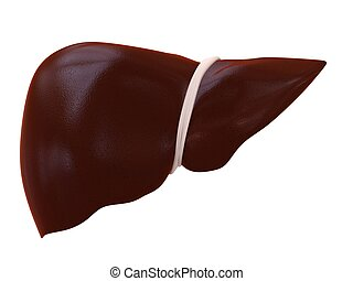 human liver - 3d rendered illustration of a human liver