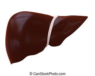 human liver - 3d rendered illustration of a human liver