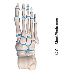 skeletal foot - 3d rendered illustration of a human skeletal...