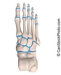 skeletal foot - 3d rendered illustration of a human skeletal...
