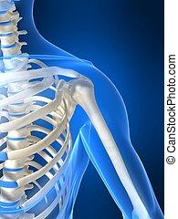 3d rendered illustration of a human skeletal shoulder