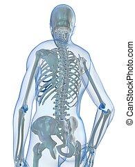human skeleton - 3d rendered illustration of a human...
