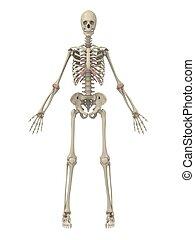 human skeleton - 3d rendered illustration of a human ...