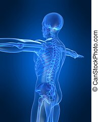 3d rendered illustration of a human skeleton