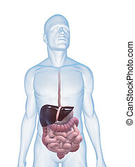 digestive system - 3d rendered illustration of a male body...