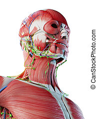 anatomy of the head and neck