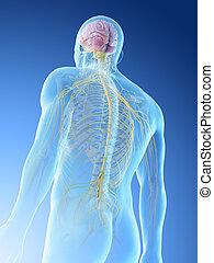 upper body nerves - 3d rendered illustration of a mans upper...