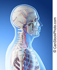 a mans vascular system of the head and neck
