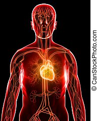 3d rendered illustration of a transparent body with cardiovascular system