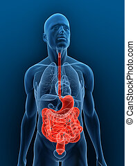 3d rendered illustration of a transparent body with highlighted digestive system