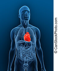 3d rendered illustration of a transparent body with highlighted heart