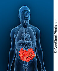 3d rendered illustration of a transparent body with highlighted small intestines