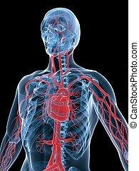 vascular system - 3d rendered illustration of a transparent ...
