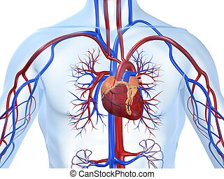 3d rendered illustration of a transparent body with vascular system
