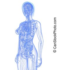 female anatomy - 3d rendered illustration of a transparent ...