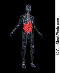 digestive system - 3d rendered illustration of a transparent...