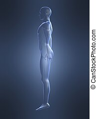 male body shape