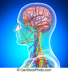 Circulatory system of human brain