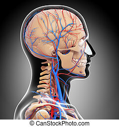 3d rendered illustration of Circulatory system of human head