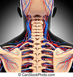 Circulatory system of spinal cord - 3d rendered illustration...