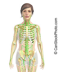 female lymphatic system - 3d rendered illustration of female...