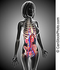 female urinary system anatomy - 3d rendered illustration of...