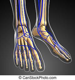 3d Render Human Anatomy Foot